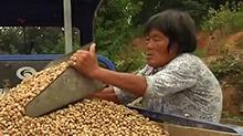 安化:高山红皮小籽花生畅销
