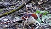 湖南八大公山首次拍摄到国家一级保护动物白颈长尾雉